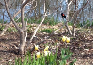 Redwing Blackbird at Wellfield Gardens, Elkhart, Indiana